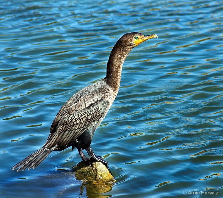 Bird on a Rock - ID: 9210881 © Arnie Horwitz