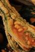 Gourd Warts