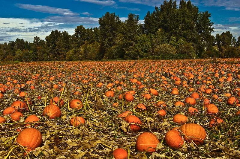 The Pumpkin Patch, Oregon - ID: 9237471 © Denny E. Barnes