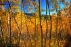 Fall In The Aspen...