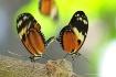 butterfly union