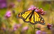 monarch in field