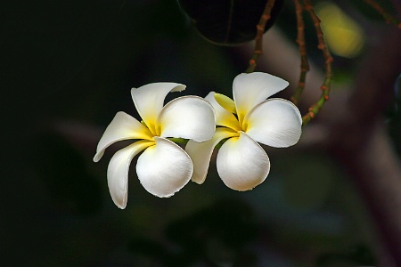 Union of two white beauties.