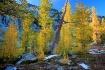 Larch Tree Grove ...