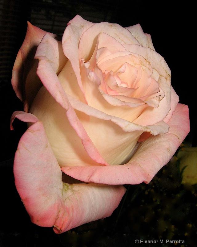 """""""A Peach of a Rose"""""""