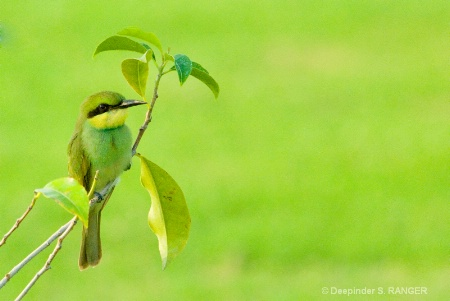Purple sunbird(female)