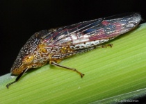 Leafhopper on stem