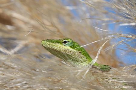 lizard hiding in the pampas grass