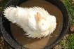 Washing duck