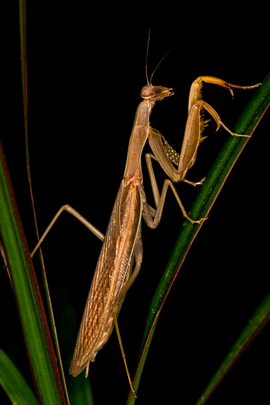 Mantis - ID: 9354923 © Michael Kelly