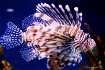 Mr Lionfish