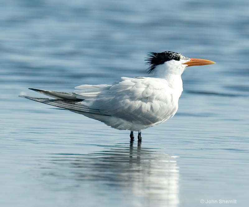 Royal Tern - July 14th 2009 - ID: 9362444 © John Shemilt