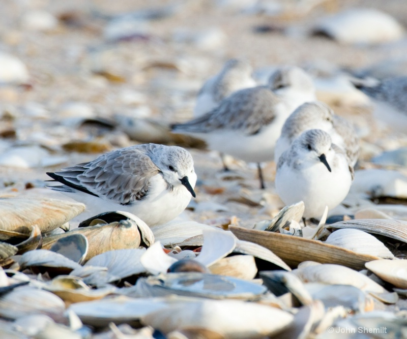 Winter Sanderlings - ID: 9363047 © John Shemilt