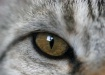 eye of the tabby