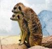 Meerkat  Affectio...