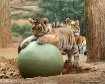 Amur Tiger and 3 ...