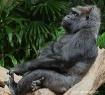 Gorilla Chillin&#...