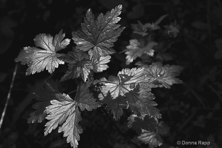 mood leaves b w - ID: 9419022 © Donna Rapp