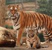Amur Tiger with C...