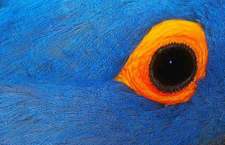 Eye of the Blue MaCaw!
