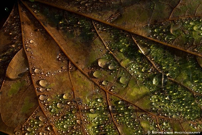 Leaf & Dewdrops