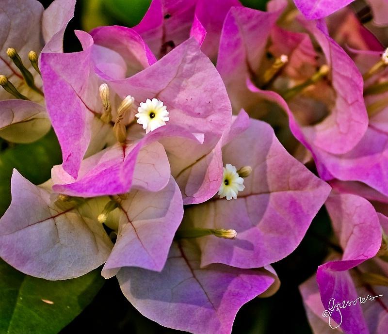 pink bouganvillea