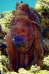 Octopus, Sharm El...