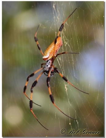Golden Silk Spider #5