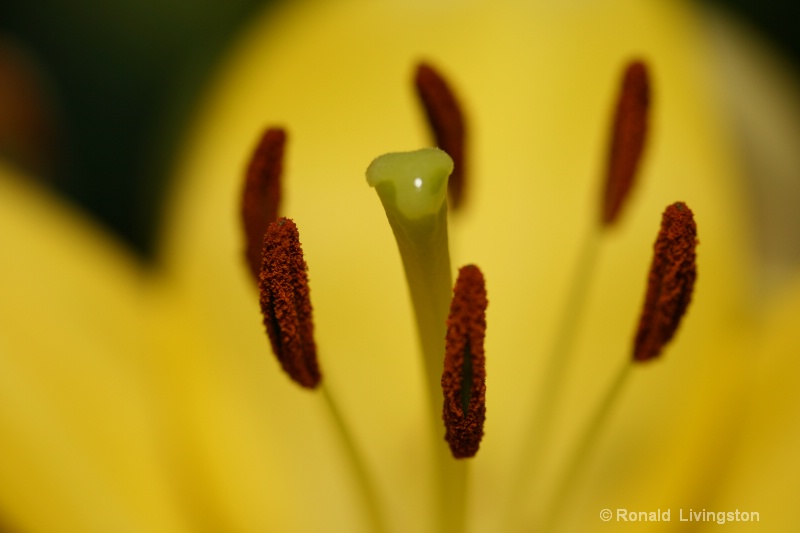 Yellow Lily - ID: 9472833 © Ron Livingston