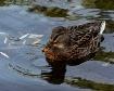 Duck Drip