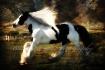 Gypsy Stallion ~