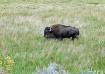 Wild Buffalo in Y...