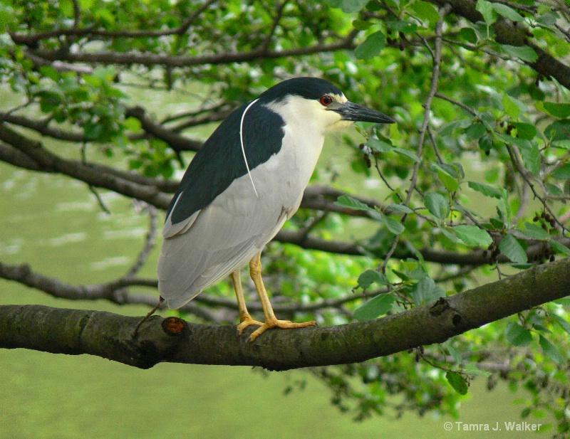 Black Crowned Night Heron - ID: 9504852 © Tamra Walker