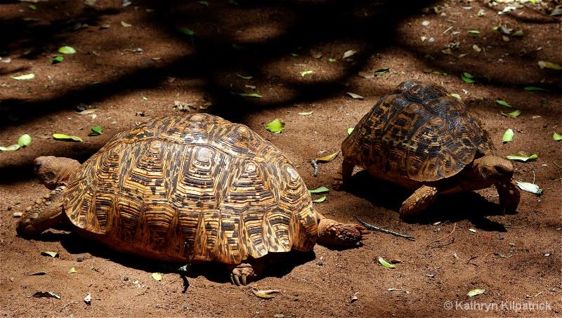 Leopard Tortoise - ID: 9510118 © Kathryn R. Kilpatrick