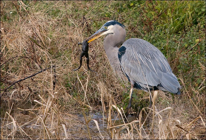 "Great Blue Heron ""Tastes Like Chicken"" - ID: 9520469 © Thomas R. Wilson"