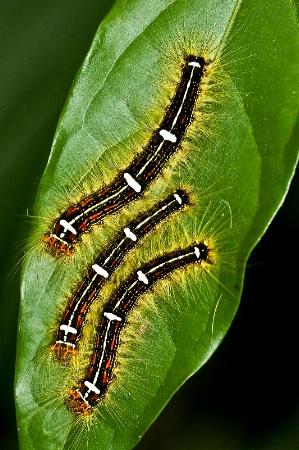 butterflie larvaes