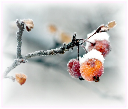 Frosty Crabapples #4