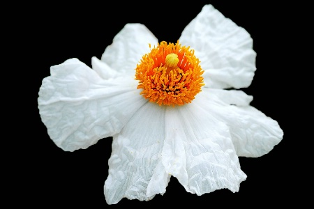 Lace Poppy