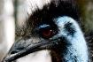 Emu You!