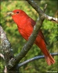 Summer Tanager Sn...