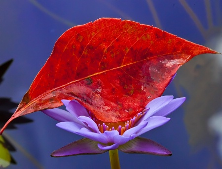 A Leaf and a Lily