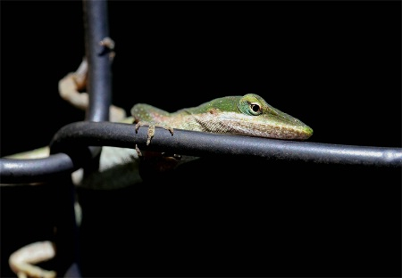 Lizard on a chain link fence