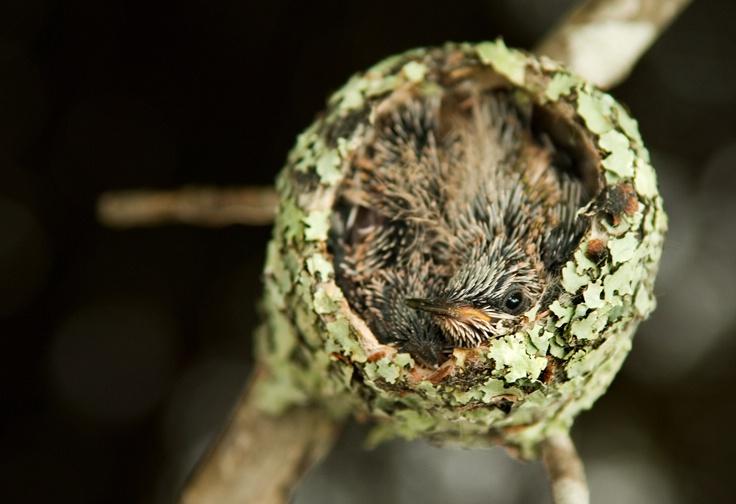 baby hummingbird - ID: 9582932 © Michael Cenci