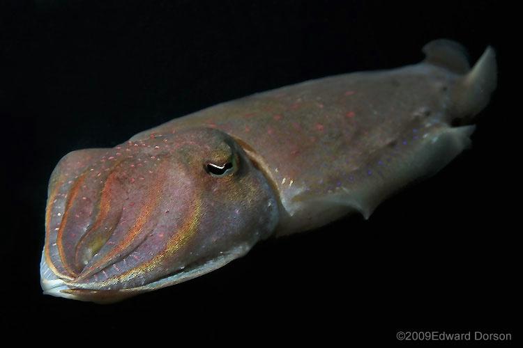 Cuttlefish_3 - ID: 9591395 © Edward Dorson
