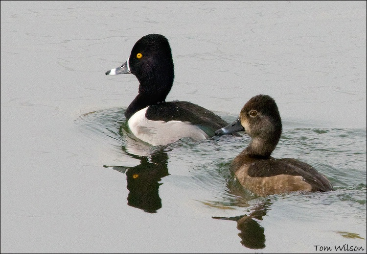Male and Female Ring-necked Ducks - ID: 9591674 © Thomas R. Wilson