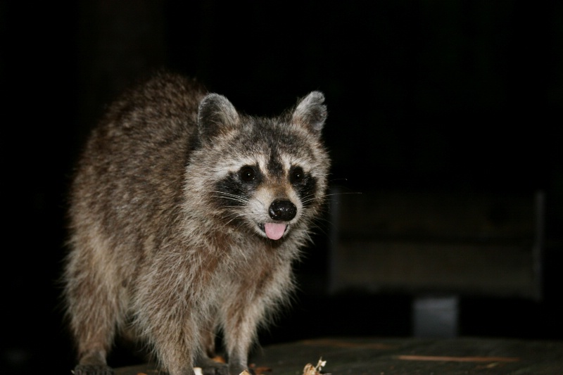 Bandit, Santee State Park - ID: 9592936 © Judy Riley