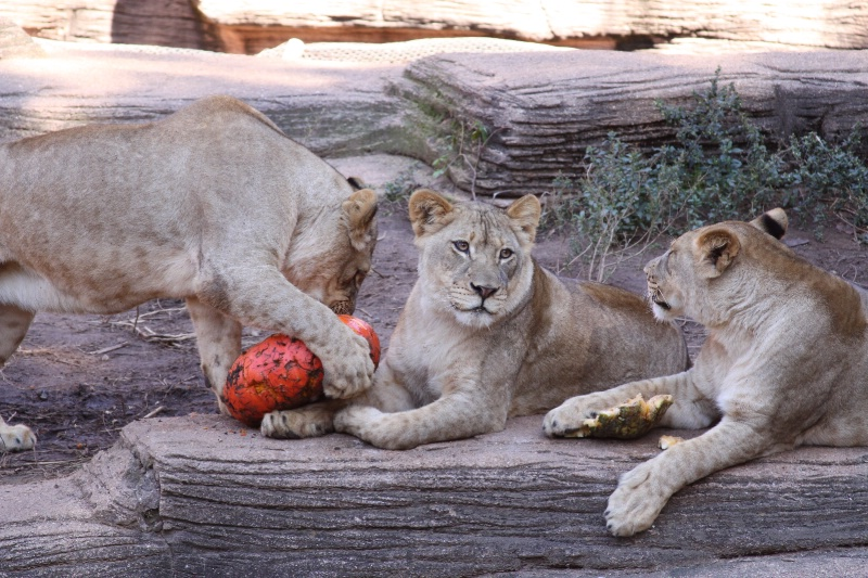 Pumpkin Day at the Zoo with the Lions - ID: 9594552 © Judy Riley