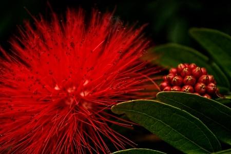 Red Splender
