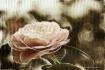 "My Sweet Rose""..."