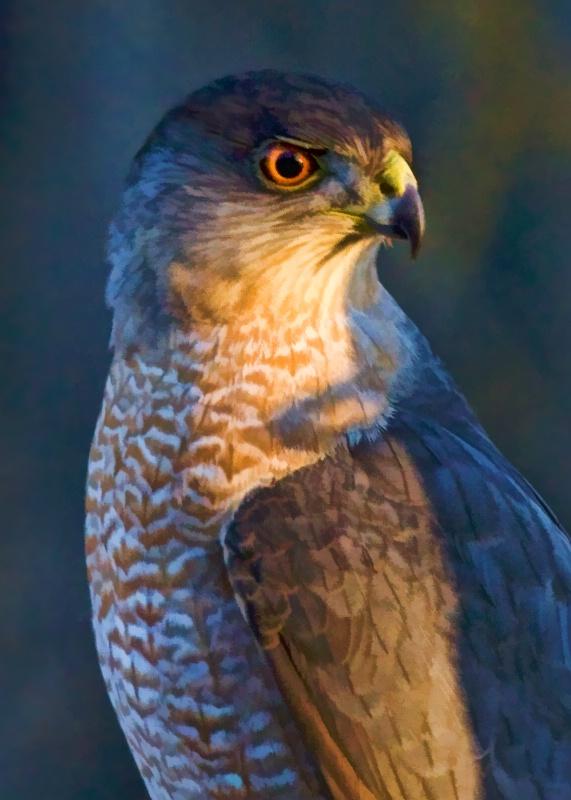 Sharp Shinned Hawk 2 - ID: 9607743 © Jim Kinnunen